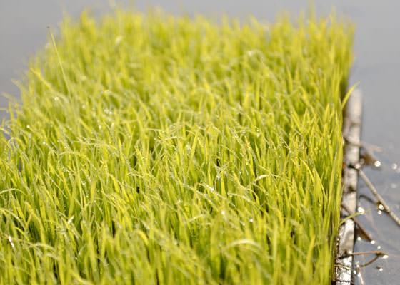 こちらが田植え前の苗。今年の阿蘇は5月初旬に気温が上がらず苗の成長は比較的悪かったが、それでも大森さんの苗はご覧の通り。無施肥とは思えない立派な苗に育った。