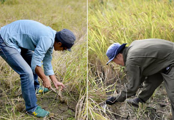 手刈りを行う店長と岡田さん。亀の尾の田んぼは奥に向かって細くなっているため、4条刈りのコンバインだけでは刈り取りが結構な範囲の手刈りが必要。