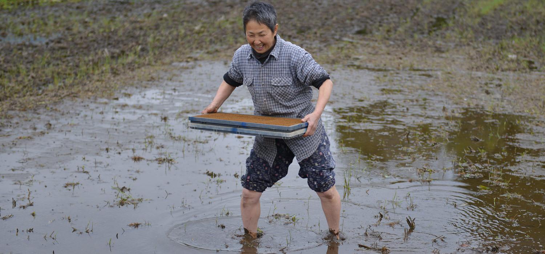 苗代に苗箱を運ぶ高島さん。