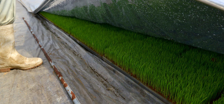 栃原さんの無農薬栽培米の育苗。