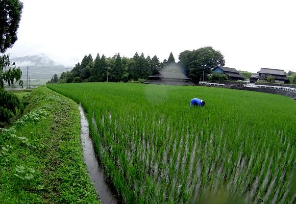 3反ほどの広さがあるコシヒカリの田んぼで除草を行う宇都宮さん。雨の中、腰を曲げて草を一本一本取っていく。これが終われば次はササニシキ、ヒノヒカリの田んぼの除草が待っている。