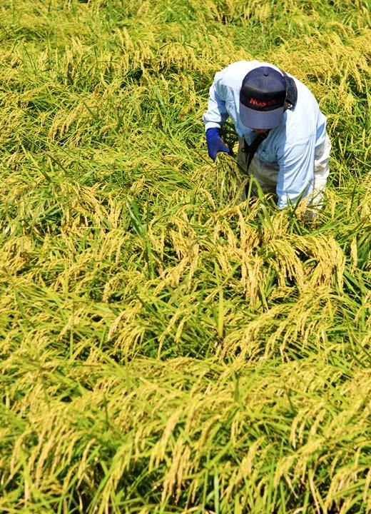 稲の収量をチェックする五嶋さん。災害のあった24年度よりはずいぶん良さそうだ。