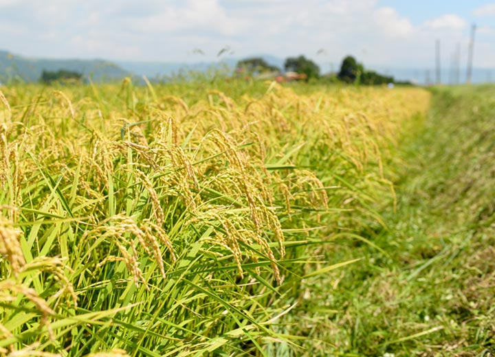 稲刈り目前の田んぼ。この取材の3日後に稲刈り…のはずだったが、水分量を鑑みて一週間後に変更した。