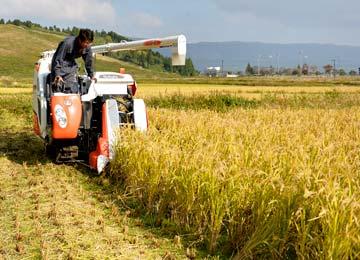 田植えと同じく、稲刈りもすこしだけ行う店長。稲刈りは田植えほど気を使わなくていいから楽。