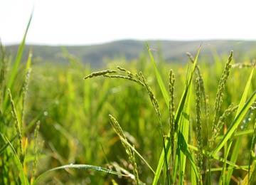 9月。穂はまだ青々としている。周囲のコシヒカリの田はもう稲刈りをしているところもある。