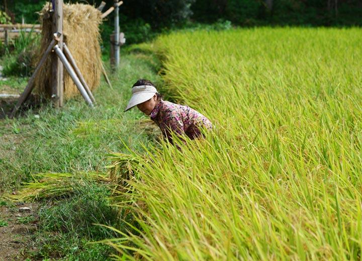 奥さんは田んぼにコンバインが入る前に畦際の稲を手刈りする。