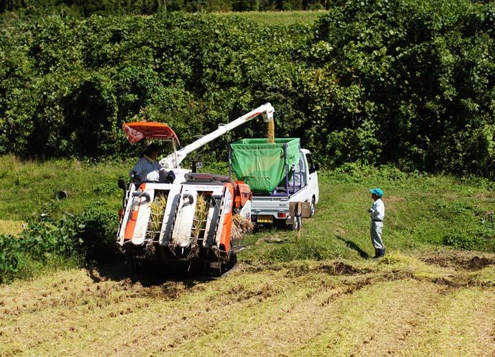 刈り取った籾は軽トラックですぐにライスセンターへ運搬される。