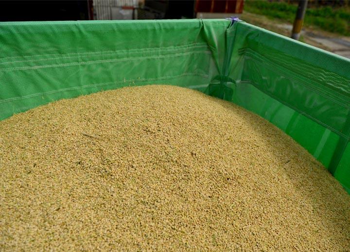 刈り取ったばかりの籾。この後乾燥、籾摺りを経て玄米へと加工される。
