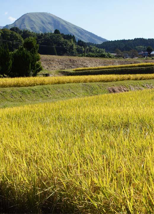 後藤松子さんの田んぼ。後ろに見えるのは夜峰山。阿蘇山の南西部にある、登山で有名な山だ。