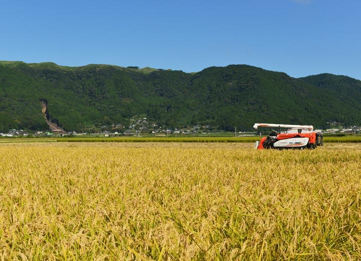 稲刈りを待つ稲たち。すぐ近くの山肌には去年の豪雨による土砂崩れがそのまま残っている。