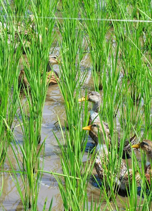 水田を泳ぎながら雑草を食べるアイガモたち。