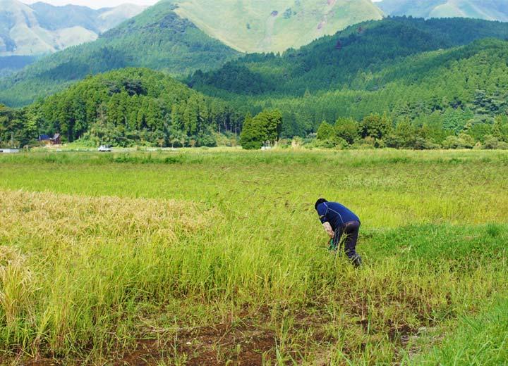 去年(24年度)の稲刈り前の田んぼの様子。豪雨により多くの土砂が田んぼに流入した。