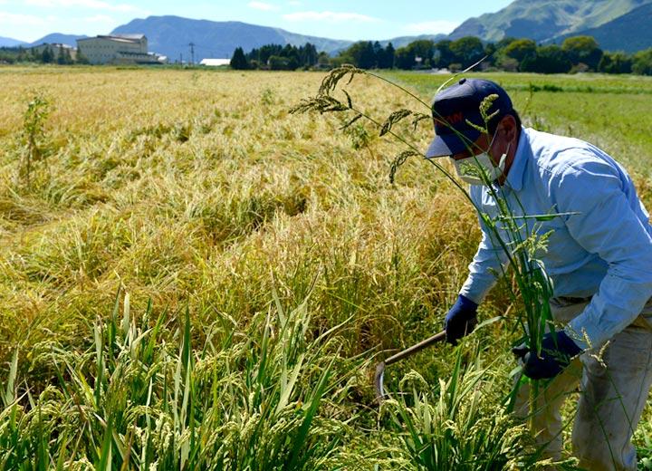 水オペレーターが稲を刈っている間、五嶋さんは隣りの田んぼで稲刈りの準備を進める。
