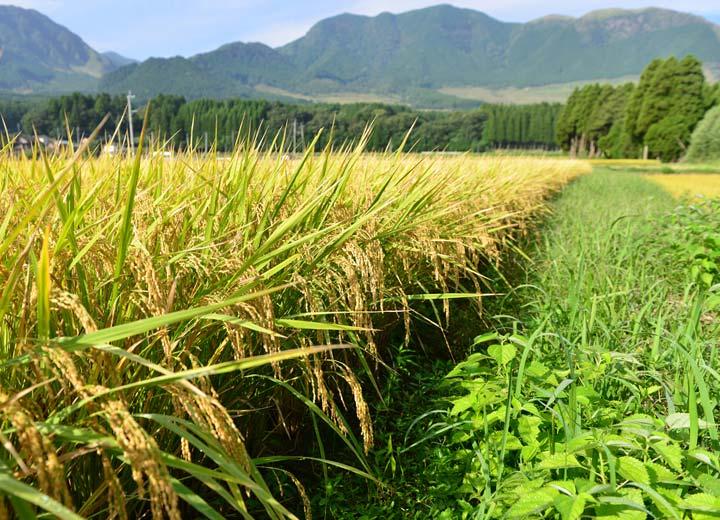 稲刈り直前の田んぼ。他にも数枚の田んぼで米作りを行うが全て無農薬栽培。
