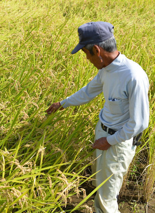 収穫前、お米の登熟度合いをチェックする北野さん。