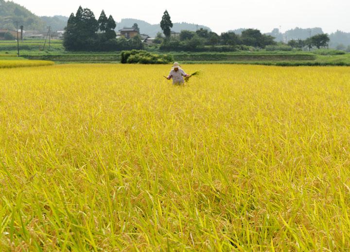 稲刈り前、取りきれなかった雑草を抜いていく長野さんの奥さん。こうして収穫した米に雑草の種が混じるのを防ぐ。