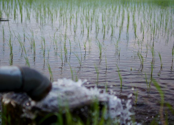 6月中旬の頃の田んぼの様子。