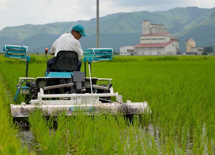 後ろを見ながら稲を倒さないようにゆっくり除草機を動かす。