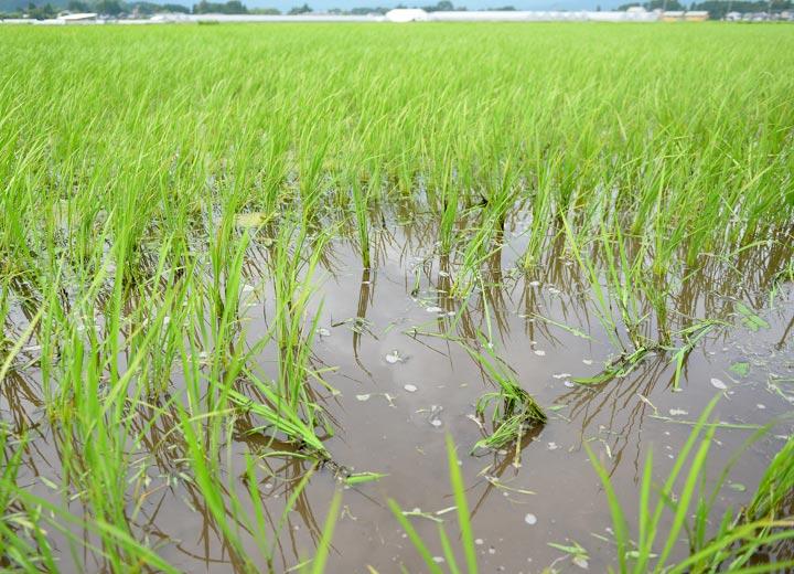 除草機で倒れた稲は数日経つと元に戻る。
