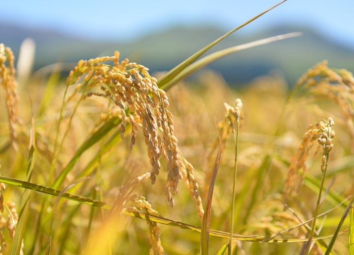 収穫前の稲。出来は上々のようだ。