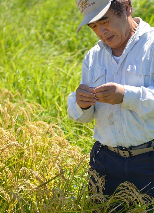 収穫前、お米の登熟度合いをチェックする西田さん。