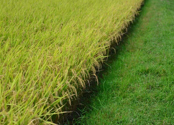 ほどよく登熟しつつある稲。撮影の1週間後に稲刈りを行った。