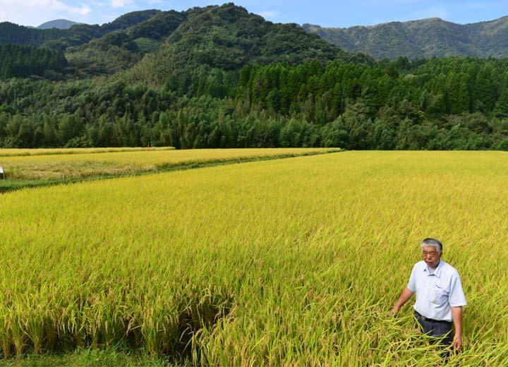 緒方さんの田んぼの隣りは高島和子さんの田。さらにその隣りは北野鉄矢さんの田である。