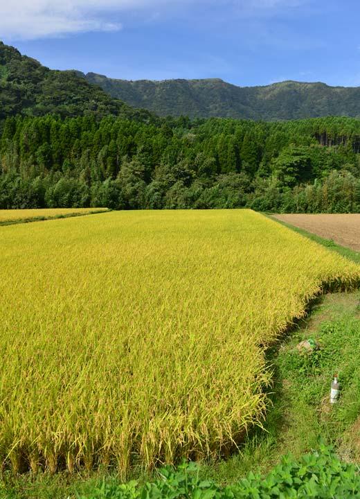 稲刈り前の緒方さんの田んぼ。写真では見えないが、すぐ下には白川が流れる。