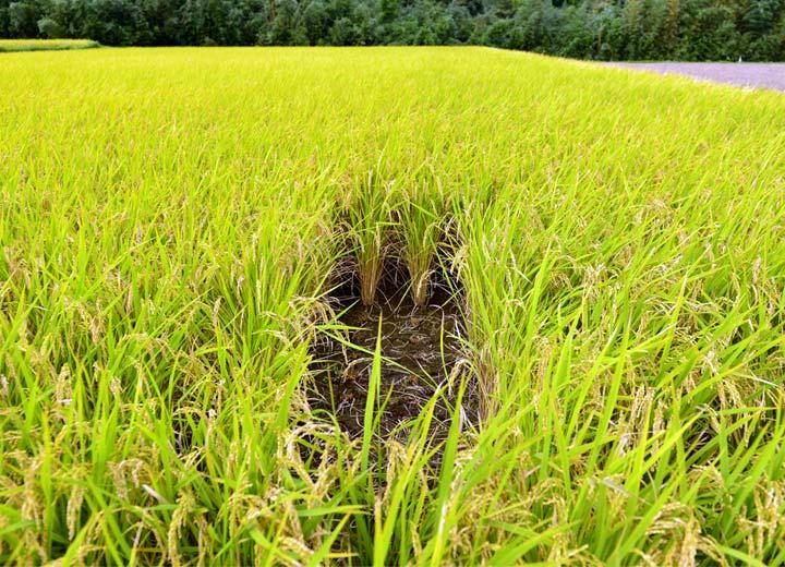 これがその「穴」。およそ10株ほどが調査のために早めに収穫された。