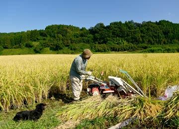 掛け干しを行うにはバインダーをいう機械を使って稲を根本から刈っていく。紐がしょっちゅう絡むため、操作は大変。