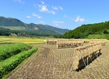 掛け干しの稲と南阿蘇の山々。阿蘇には掛け干しの風景がとてもよく似合う。