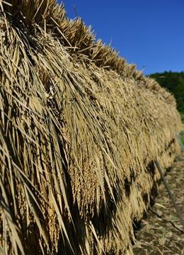 掛け干し中の稲。風通しをよくするために、稲と稲の間隔を余裕を持って掛けていく。