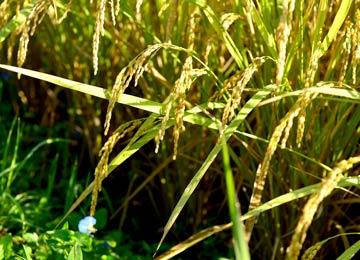 稲刈り直前のあきげしき。農薬や化学肥料は使用せず、おからを使用した抑草技術を用いて栽培する。