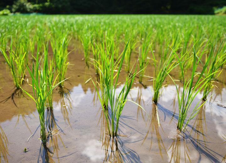 酒井さんの田んぼ。アイガモのおかげで雑草が全く生えていない。
