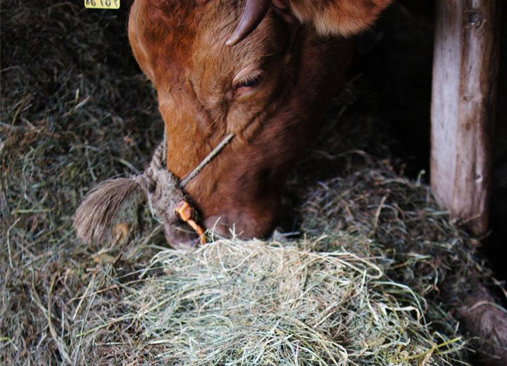 牧草を食べる牛。食べている牧草は阿蘇の原野で採取された無農薬栽培のもの。