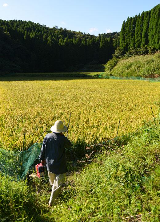 稲の登熟をチェックしに田んぼへ向かう酒井さん。