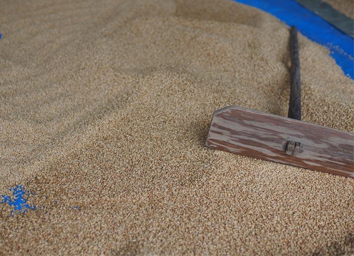 11haもの面積となると、使用する種籾の量も半端なものではない。