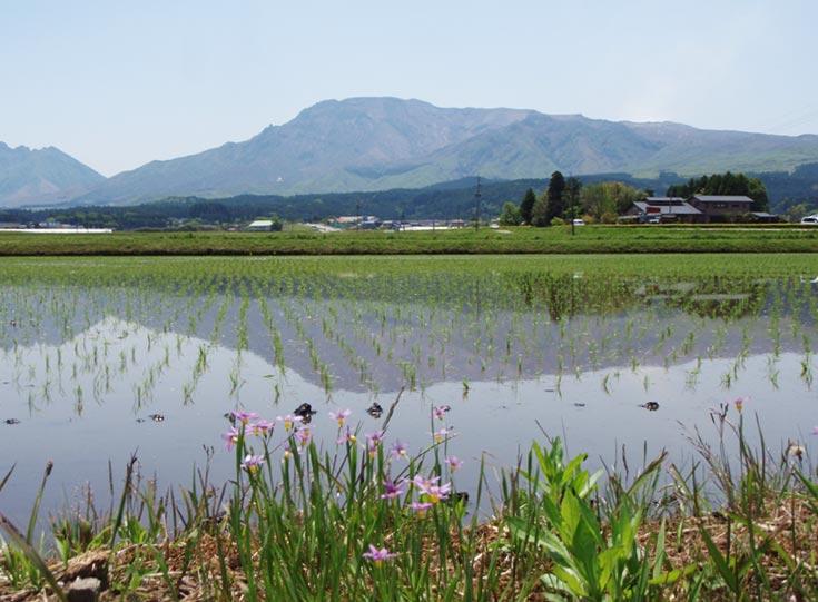 田植えが終わった水田。約4ヶ月後に収穫となる。水面に映る逆さの阿蘇山が美しい。