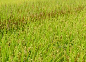 よ〜く見ると穂の色が違う二種類の米が栽培されているのが分かる。写真奥のやや赤い穂が赤米だ。