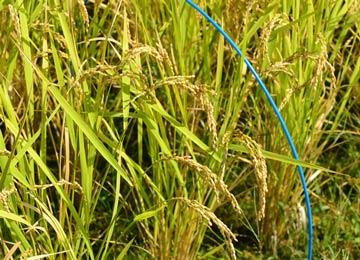 収穫前のヒノヒカリ。青い印がつけてあるのは、実験のため同じ有機米農家同士で稲の成長を観察しているためだ。