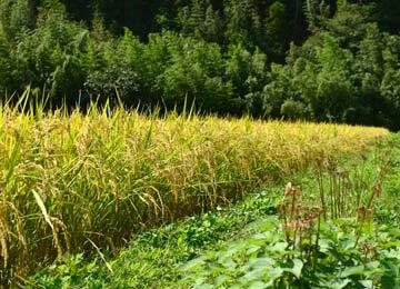 収穫直前のミネアサヒ。秋が深まり彼岸花が枯れた頃が刈り取り時期となる。