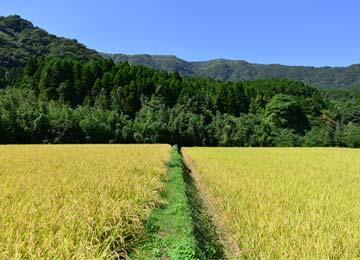 左が高島和子さんのミネアサヒ、右は緒方孝行さんの自然栽培ヒノヒカリの田だ。