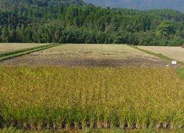ミネアサヒと黒米、香り米の刈り取りは終え、残すは緑米のみ。その緑米もあと数日で稲刈りとなる。