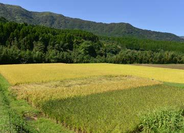 高島和子さんの四色田。手前から緑米、香り米、黒米、ミネアサヒ。