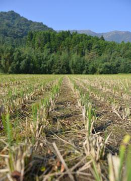 稲刈り後2週間ほど経った田の様子。刈り取った後の稲株にはすでに次の生命が宿っている。