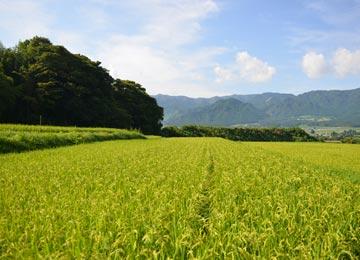 9月初旬の宇都宮の田んぼ。順調に育てば、あと40日ほどで稲刈りを迎える。