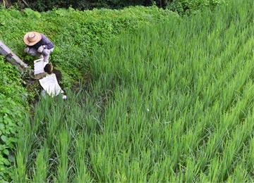 除草剤を使わずに雑草を抑えるには毎日の水の管理が非常に重要な作業となる。