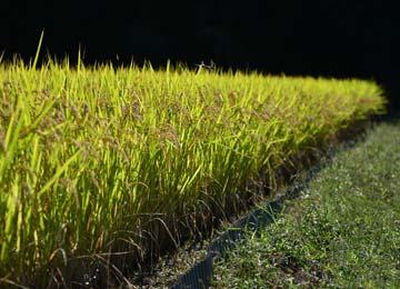稲刈り前の田。頭上にはトンボが泳ぐ。肥料を一切使用しなくとも稲は立派に育つのだ。