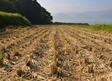 稲刈り後の田んぼ。自然栽培では、稲刈り時に細かく切断された稲わらだけが貴重な肥料となる。
