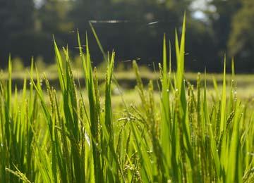9月初旬、朝露に輝く稲穂。蜘蛛の巣も見える。